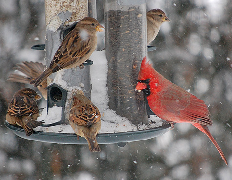 Cardinal and other birds