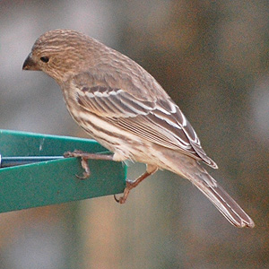 Female HouseFinch