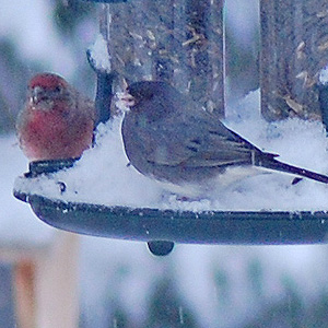 Junco and House Finch