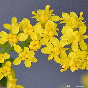 Elm-leaved Goldenrod Flowers