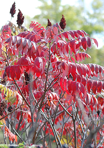 Staghorn sumac fall leaves