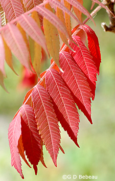 Staghorn sumac fall leaf