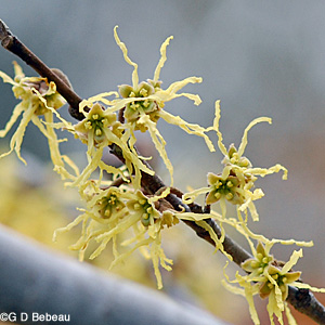 Witch hazel flower group