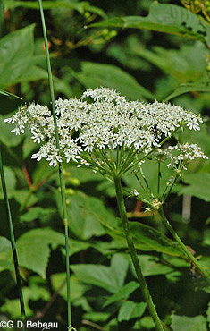 Early summer june blooming plants of the eloise butler wildflower cow parsnip heracleum maximum bartram family parsley woodland garden a very tall plant of moist areas with a large umbel of white 5 part flowers mightylinksfo