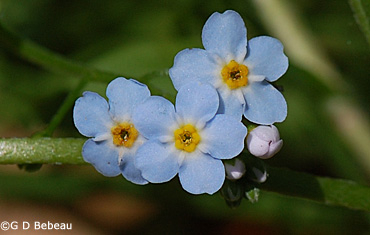True forget me not myosotis scorpioides l coiled buds forget me not flowers ccuart Image collections