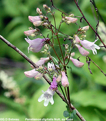 foxglove Beardtongue flower panicle