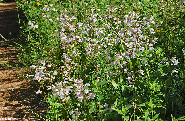Foxglove Beardtongue Group