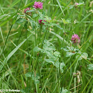Red Clover plant