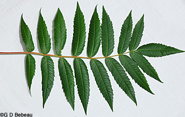 Smooth Sumac leaf