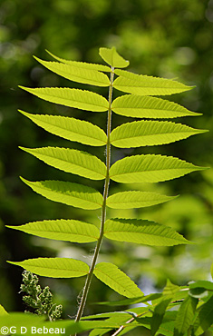 Staghorn sumac leaf