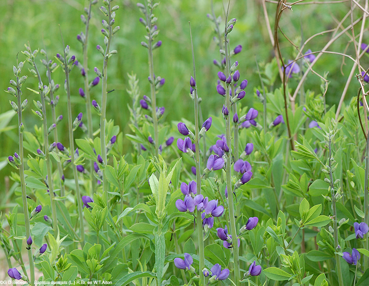 False Blue Indigo group