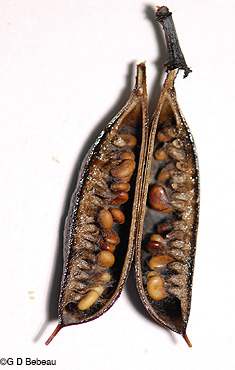 Seed pod with seeds