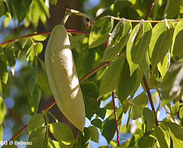 Kentucky Coffeetree green seed pod