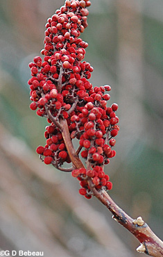 Smooth sumac prior year fruit