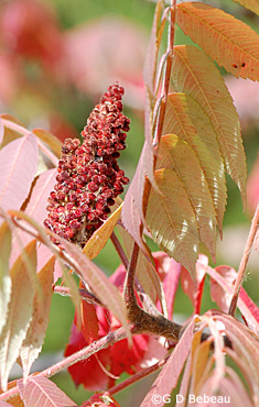 Staghorn sumac fall fruit