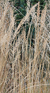 Fall Reed grass stems in fall