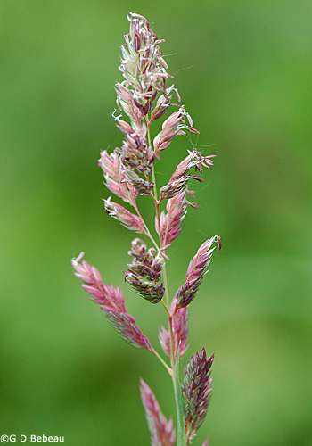 Reed Canary Grass panicle