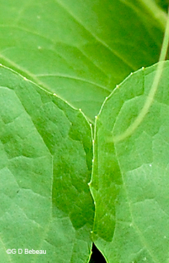 leaf edges