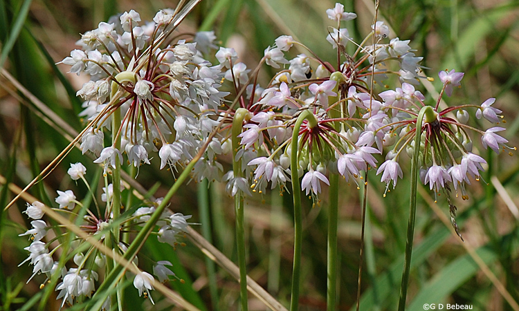 allium cernuum nodding wild onion minnesota wildflowers