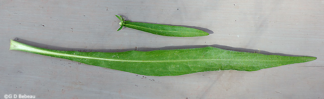 Stem and basal leaf