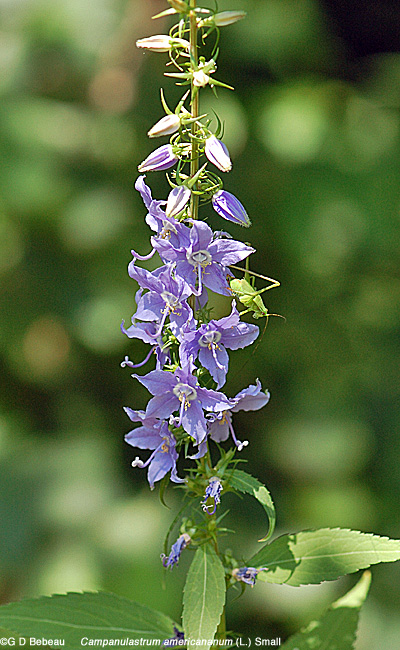 Tall Bellflower