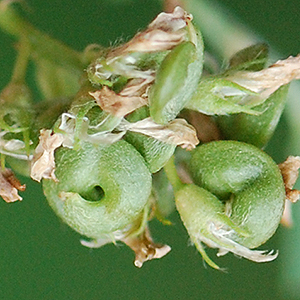 green seed capsules