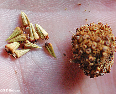 Buttonbush seeds