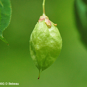 Bladdernut early fruit