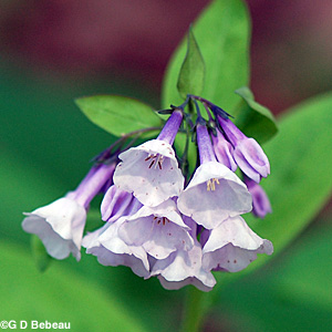 Virginia bluebells mertensia virginica l virginia bluebells buds virginia bluebell white flowers mightylinksfo