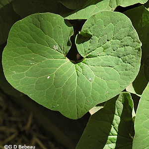Wild Ginger Leaf