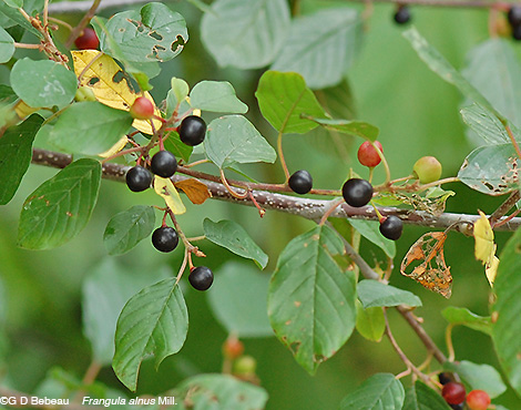 Glossy Buckthorn berries
