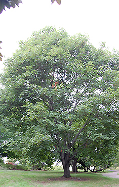 Norway Maple Acer Platanoides L - Norway maple uses