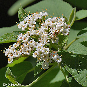 Wayfaring tree viburnum lantana l above the inflorescence is a flat topped cyme composed of many smaller clusters of 5 parted white flowers mightylinksfo