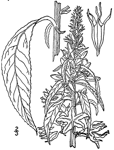 corolla coloring pages | Tall Bellflower, Campanulastrum americanum (L.) Small