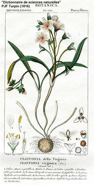 Virginia Spring Beauty botanical illustration